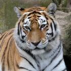 Antwerp Zoo Siberian Tiger