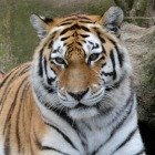 Antwerp Zoo Siberian Tiger